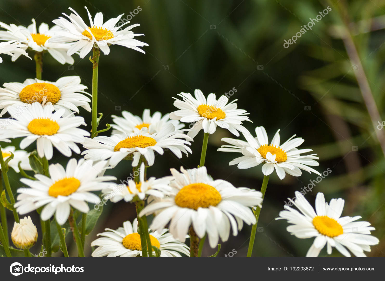 Field Of White Daisy Flowers Camomileflower Background Stock