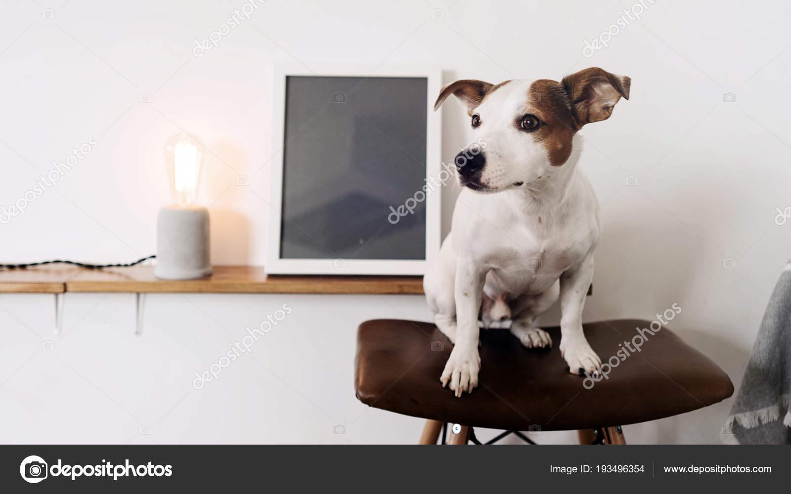 Cane seduto bar sgabello con seduta pelle bianco interni con u2014 foto