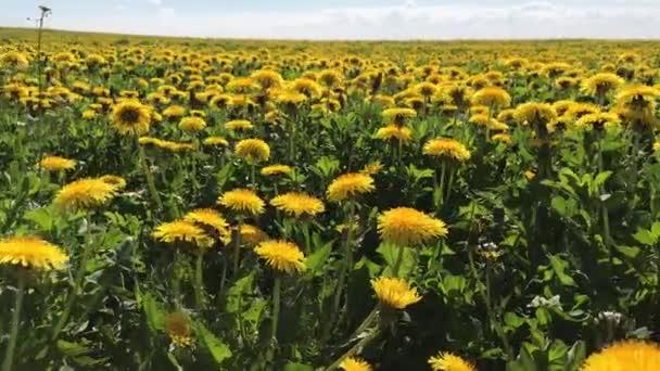 Löwenzahn gelb riesiges Feld