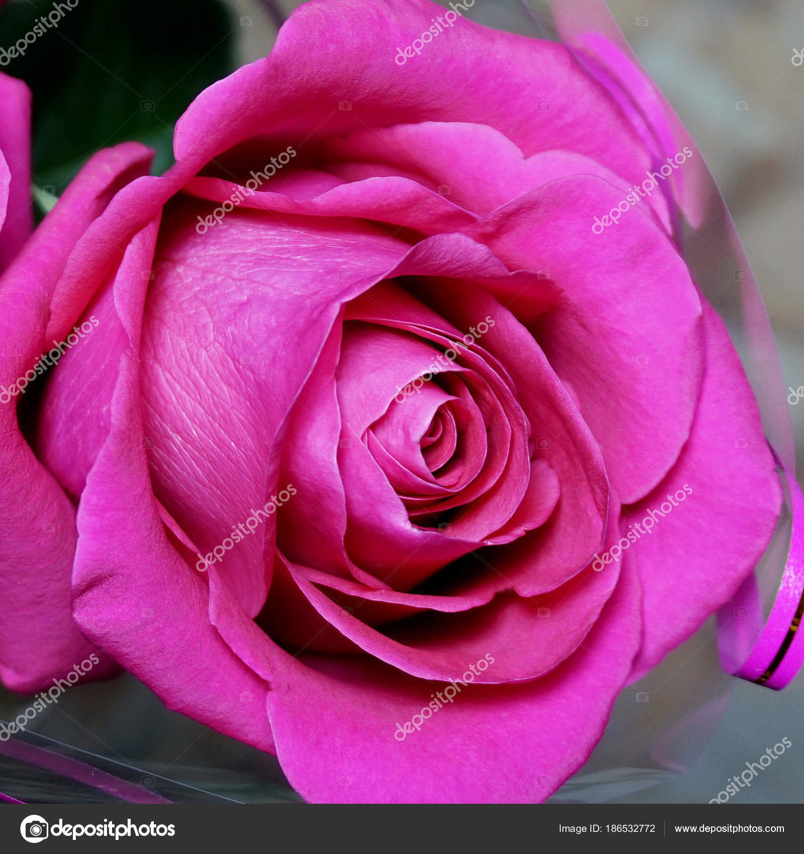 Rose Flower Dark Pink Color Stock Photo 63ru78 186532772