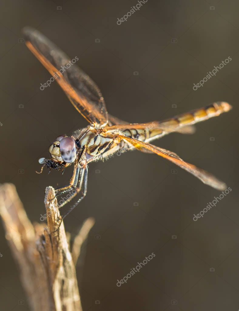 Dragonfly eating insect in nature