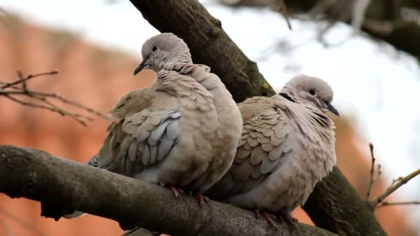 A pair of Eurasian collared dove (Streptopelia decaocto) arranges feathers on the edge of the tree