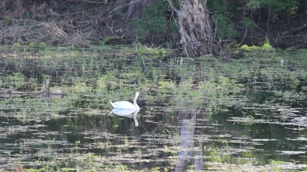 Labuť na jezeře. Bílá labuť v jezeře