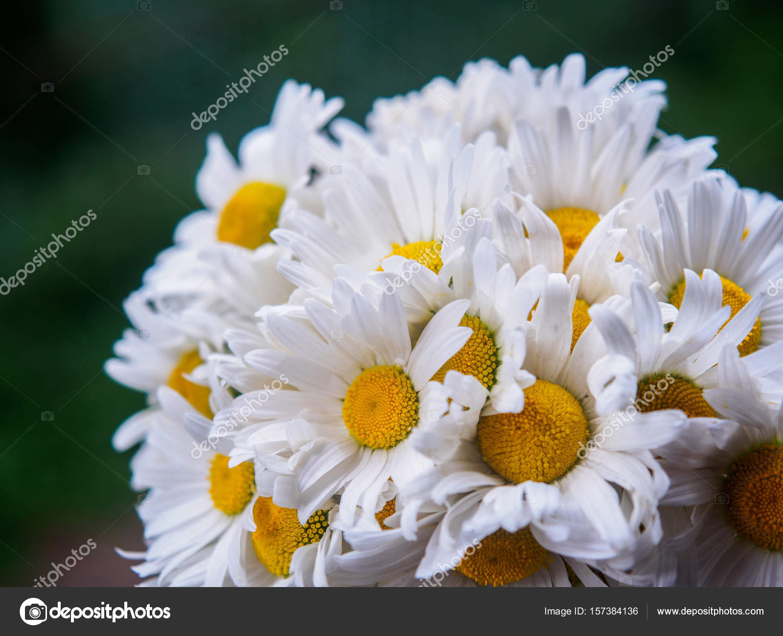 A bouquet of white field daisies on a green blurred background a bouquet of white field daisies on a green blurred background flowers with white petals and yellow pistils close up photographed with a soft focus mightylinksfo