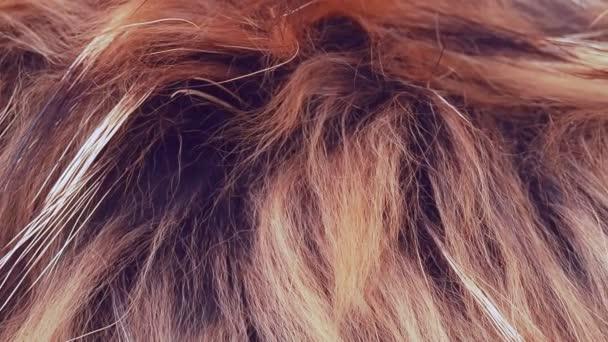 Natürliches braunes Fell, Nahaufnahme. Dolly Schuss aus echtem Fell. Braune Haare aus Naturfell, abstrakter Hintergrund. Abstraktes Muster brauner Haare.