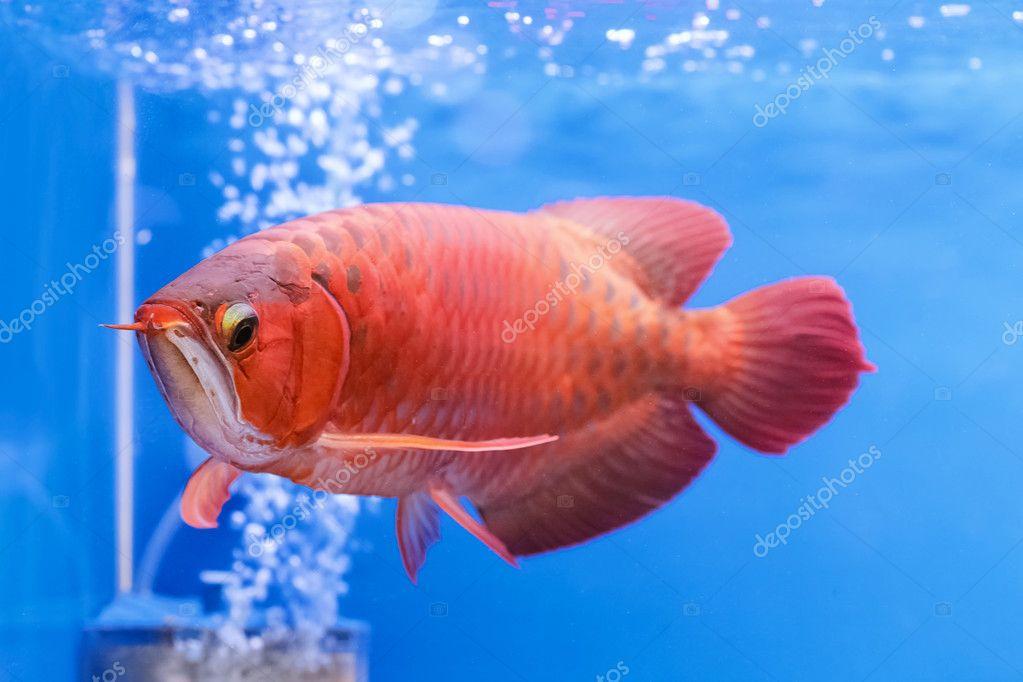 アジア アロワナ赤魚、龍魚 — ス...