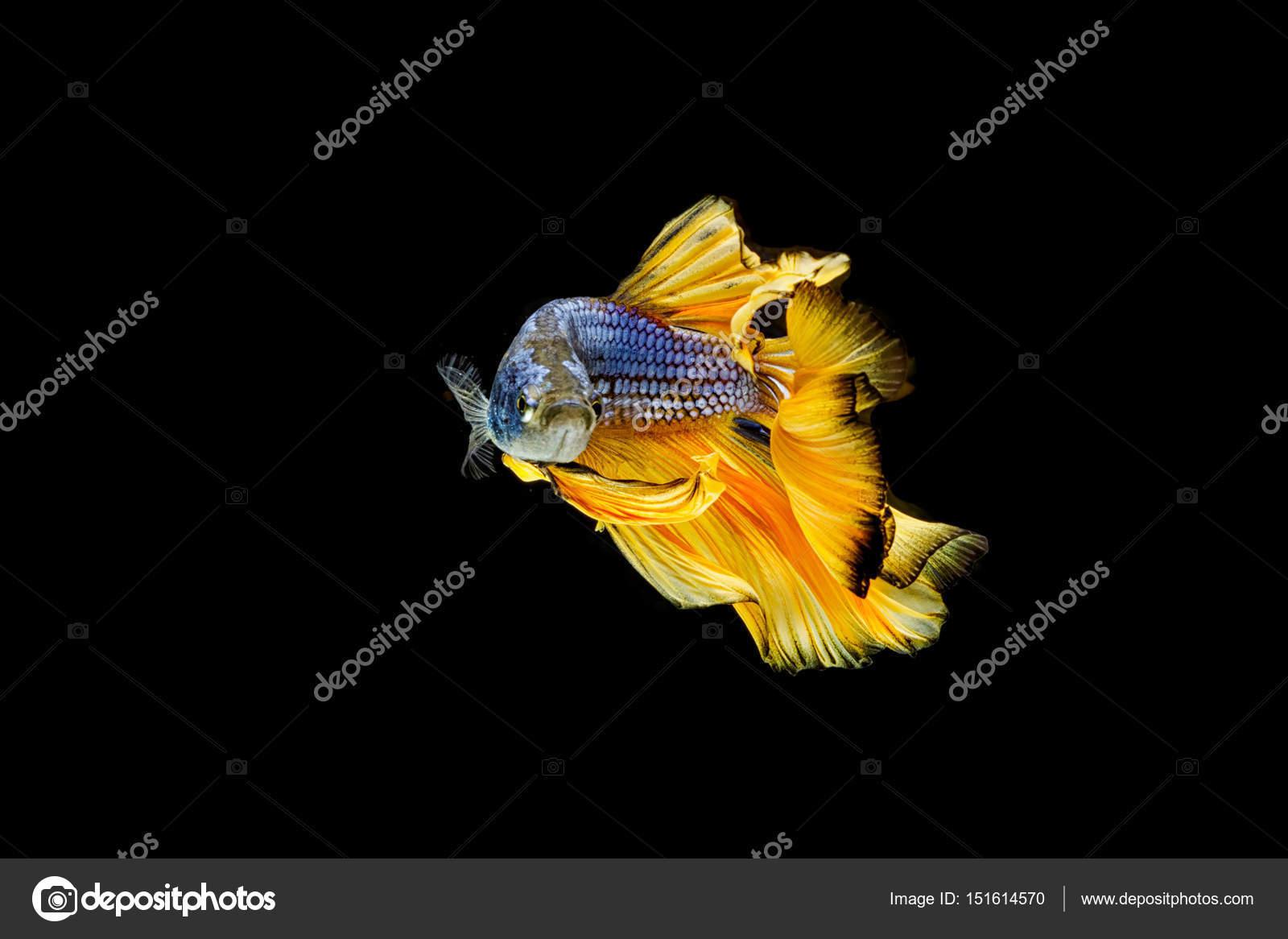 Betta Fish Siamese Fighting Fish Aquarium Fish Stock Photo
