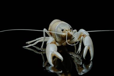Crayfish Procambarus Clarkii Ghost on black background