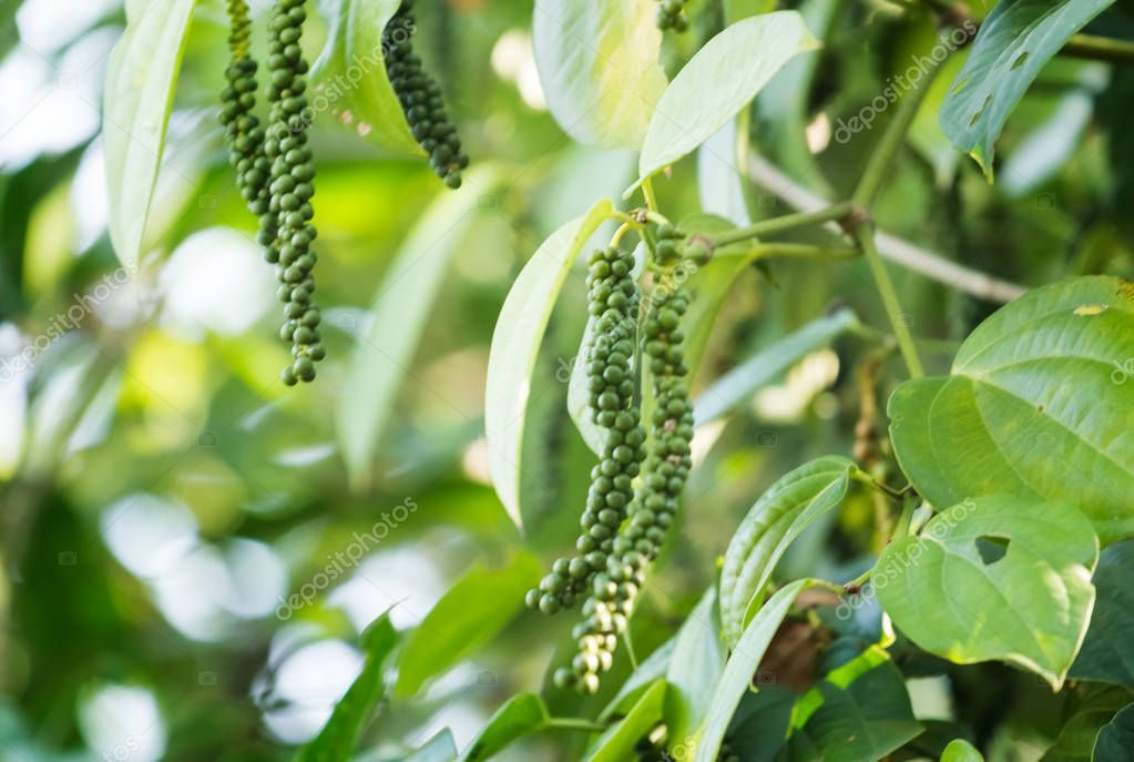 Pepper plant with peppercorns in farm