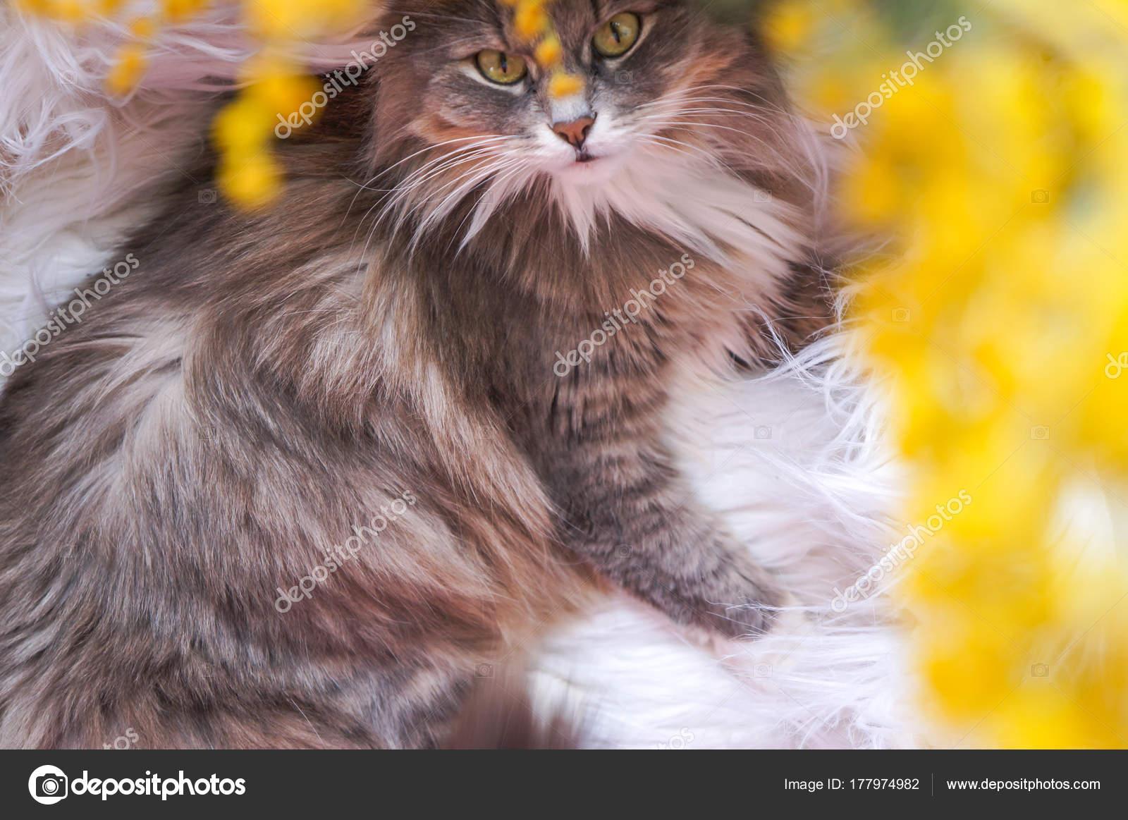 Carta Da Parati Pelosa Rosa : Gattino dolce pelosa grigio uno sfondo fiori gialli u foto stock