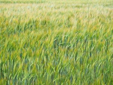 """Картина, постер, плакат, фотообои """"настоящее пшеничное поле в ветреный летний день постеры печать картины модульные города"""", артикул 177975212"""