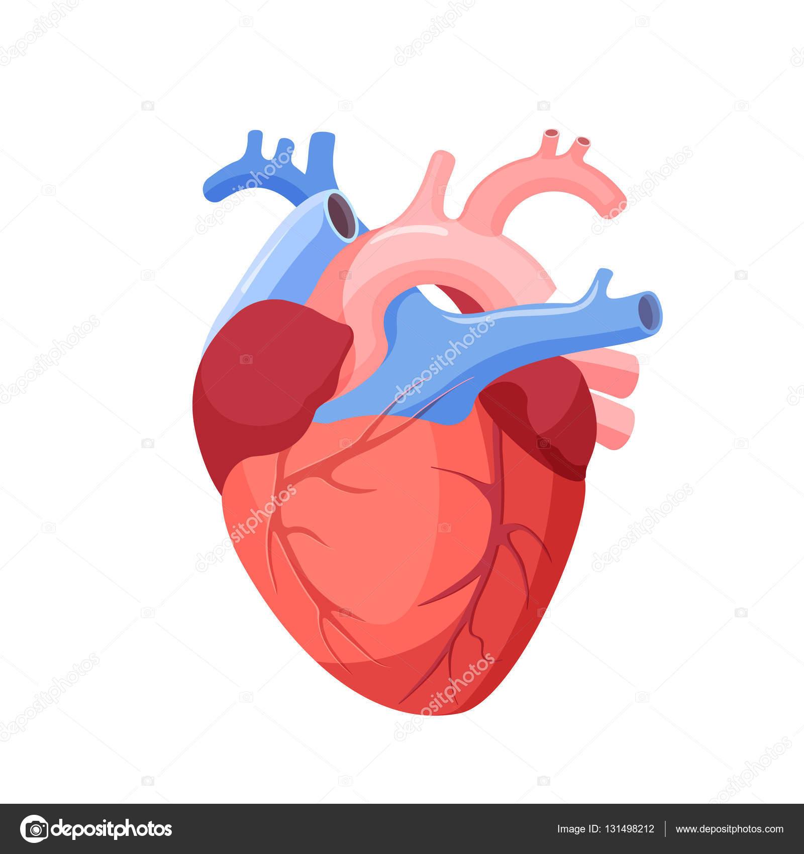 Anatomía corazón aislado. Órgano muscular en humanos — Vector de ...