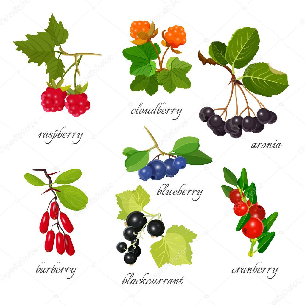 Set of berries with leaves botanical vector illustration.