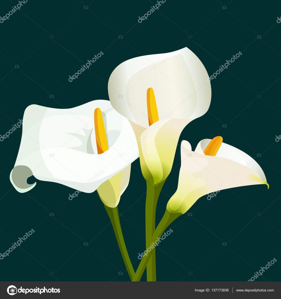 Imagenes Alcatraces Flores Ramo De Alcatraces Blancos Sobre Fondo
