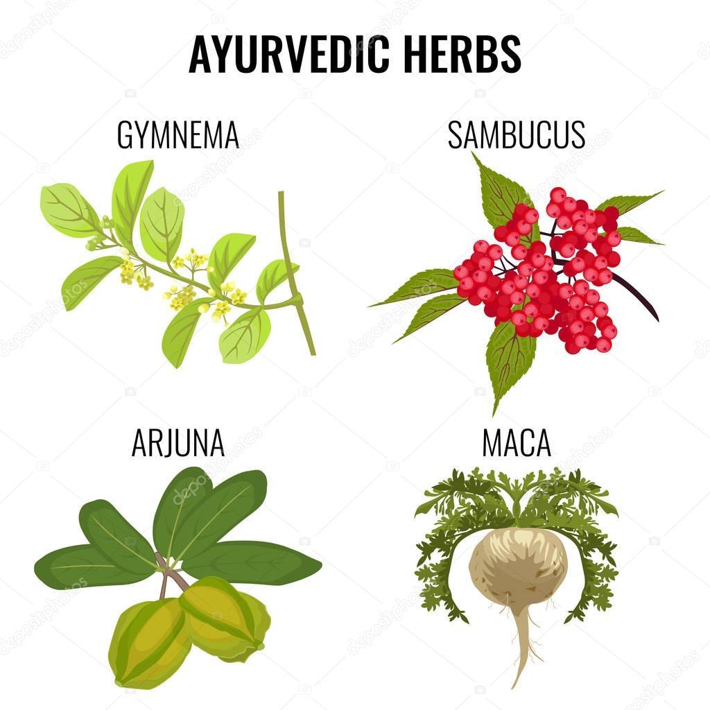 Ayurvedic herbs set isolated on white. Gymnema, sambucus, maca, arjuna