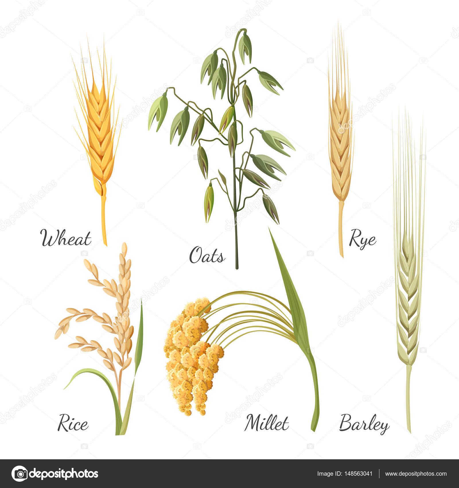 просо пшеница овес люцерна клевер свекла картинки увеличения рабочего объёма