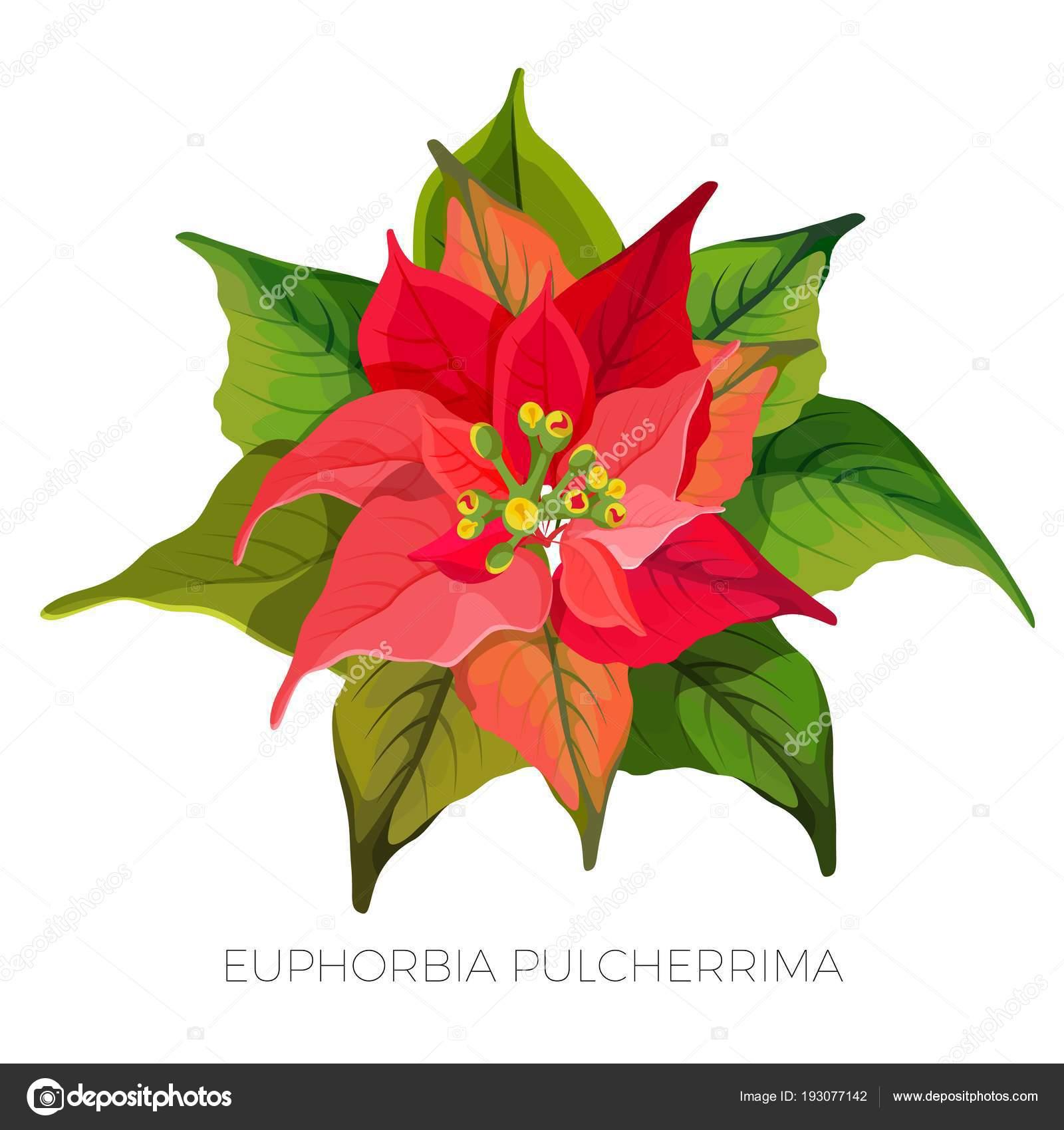euphorbia pulcherrima pflanze mit roten und gr nen. Black Bedroom Furniture Sets. Home Design Ideas