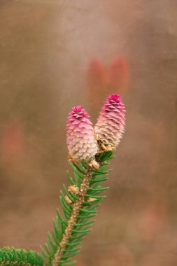 Branch with two new red spruce cones on a background of a copper plate. Reflection of cones on a copper surface. Vertical image. Christmas card. Copy space.