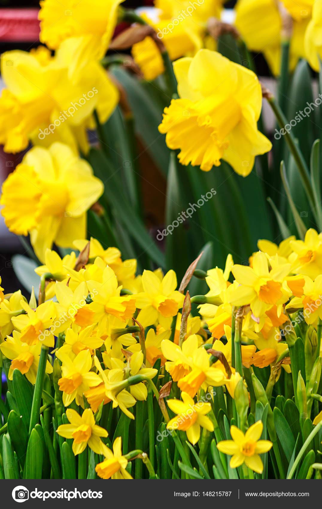 Flores De Primavera Narcisos Amarillos Fotos De Stock C Moskwa - Narcisos-amarillos