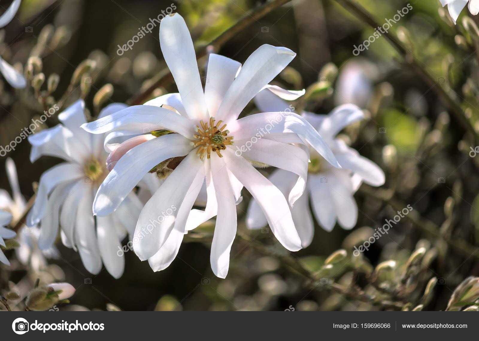 Star magnolia white flowers stock photo moskwa 159696066 star magnolia white flowers stock photo mightylinksfo