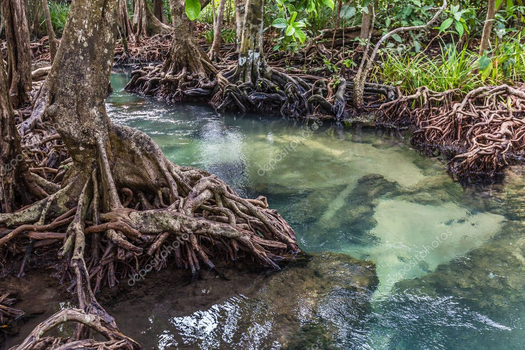 The clear green stream flows through the mangrove forest root.