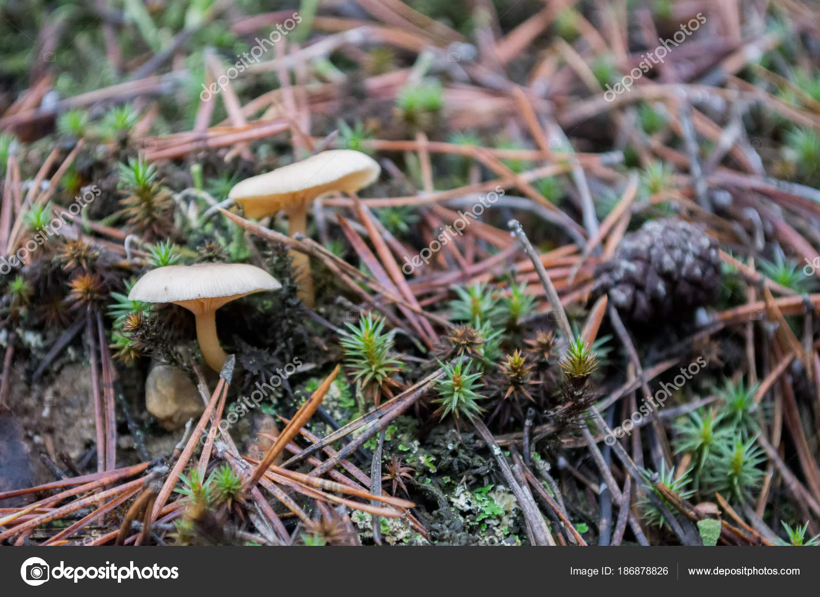 Forest Mushrooms Green Moss Pine Mulch Stock Photo C Insolite