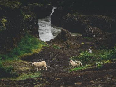 Two sheep near river with green moss rocks in Iceland stock vector
