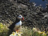 Puffin on grass with flowers at Latrabjarg Bird Cliffs in Iceland