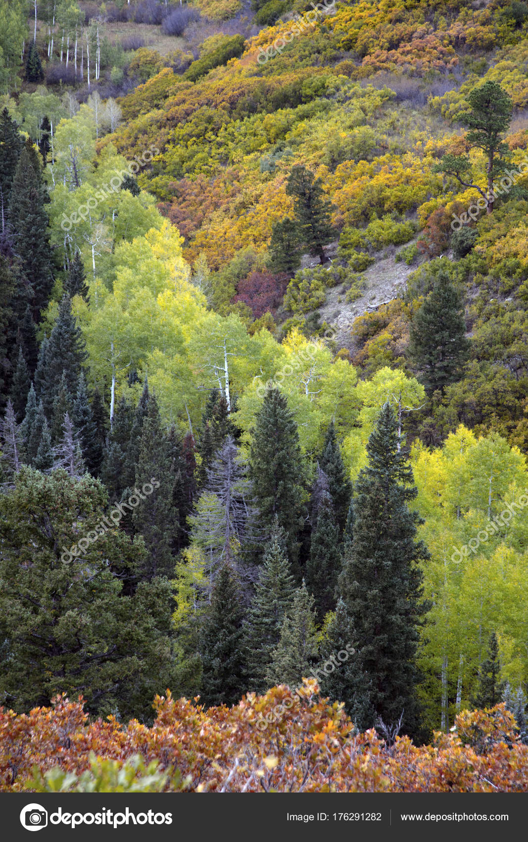 Autumn Fall Color Conifer Trees Aspens Oak Bushes Ridgway Colorado ...