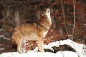 Canis lupus. Farkas a téli természet. A Nemzeti Park képek. Európa-szerte élő.