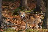 Canis lupus. Wolf az őszi természet. A Nemzeti Park képek. Európa-szerte élő.