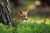 Vulpes vulpes. Fox je rozšířená po celé Evropě. Divoká příroda Evropy. Podzimní barvy na fotografii. Krásné fotografie. Fox a orchidej. Česká příroda