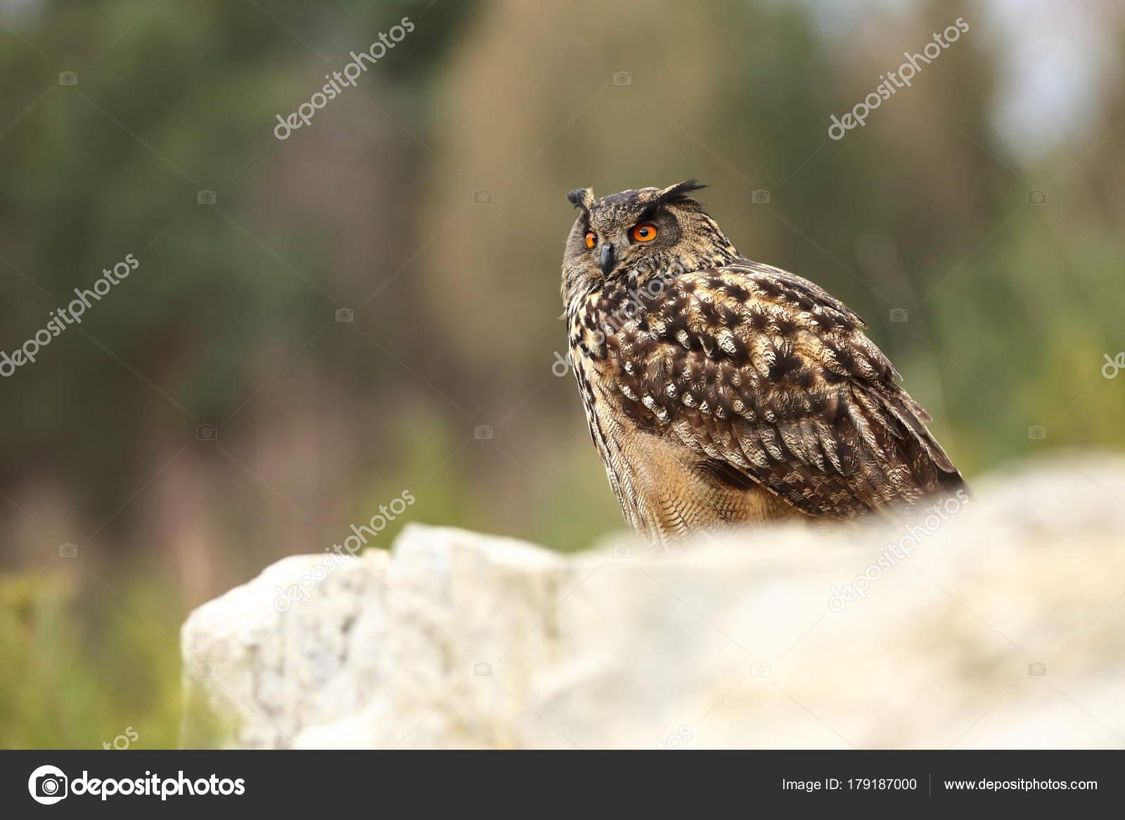 Bubo Bubo Uil Natuurlijke Omgeving Wilde Natuur Herfst Kleuren Foto —  Stockfoto