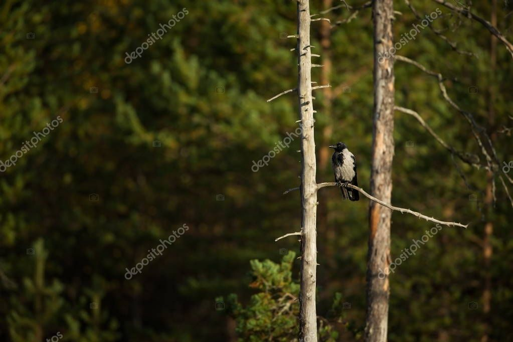 Corvus cornix. Mid-sized bird. Expanded throughout Europe. Photographed in Finland. Wild nature. Karelia. Beautiful picture. Bird. Autumn nature of Finland.