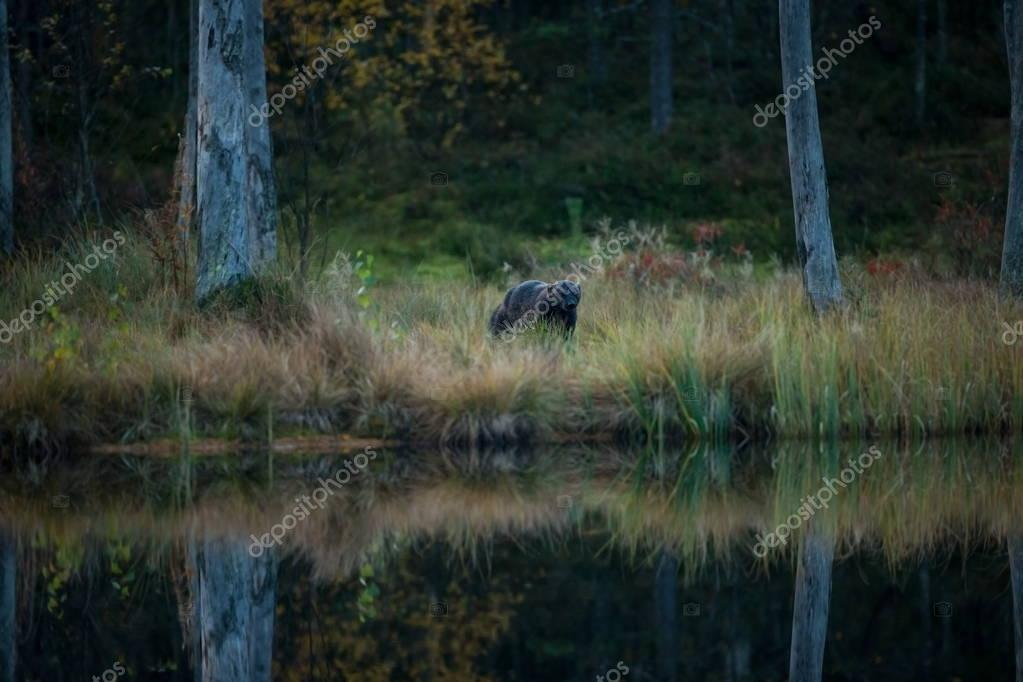 Gulo gulo. Wolverine. Expanded in Finland, Russia and Canada. Wildlife of Finland. Beautiful picture. Autumn Finland. Finland. Nature.