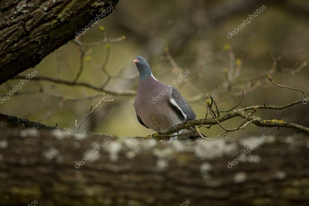 Columba palumbus. It occurs almost all over Europe. Wild nature of Czech. Spring nature. From bird life. Free nature. Czech Republic. Bird on the tree.