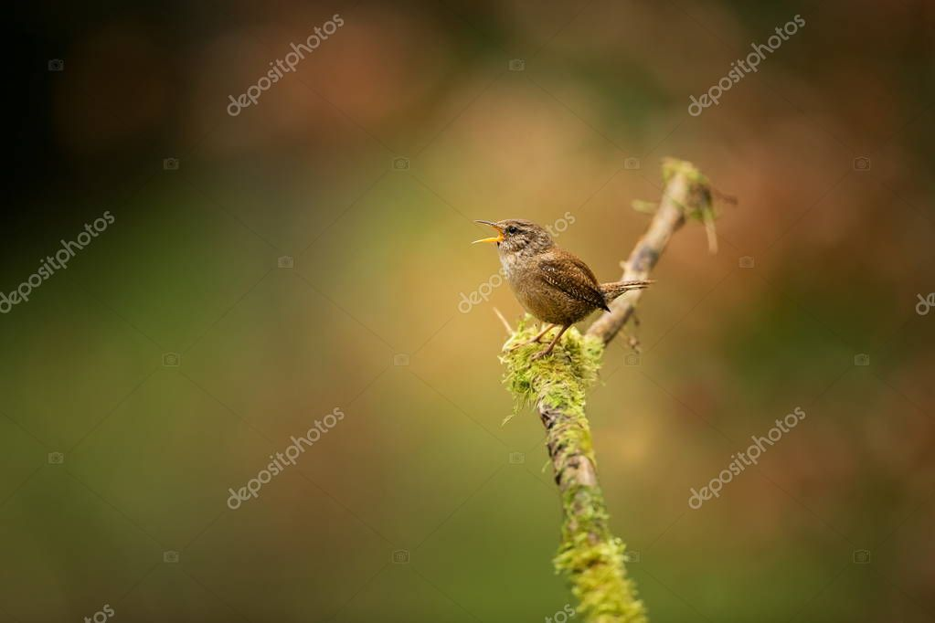Troglodytes troglodytes. It occurs throughout Europe. It does not exist in Scandinavia, Iceland, North Africa, Central and Eastern Asia and North America. Wild nature of Czech. From bird life. Free nature. Spring. Czech Republic. Bird in the woods. B