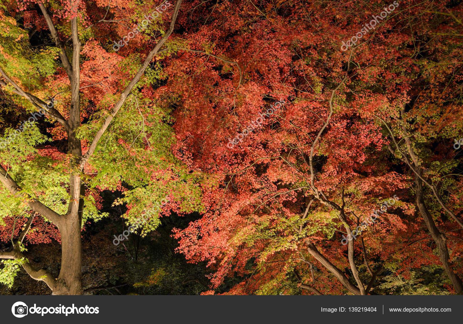 Jardin Japonais Automne Avec Les Erables Dans La Nuit A Kyoto Japon