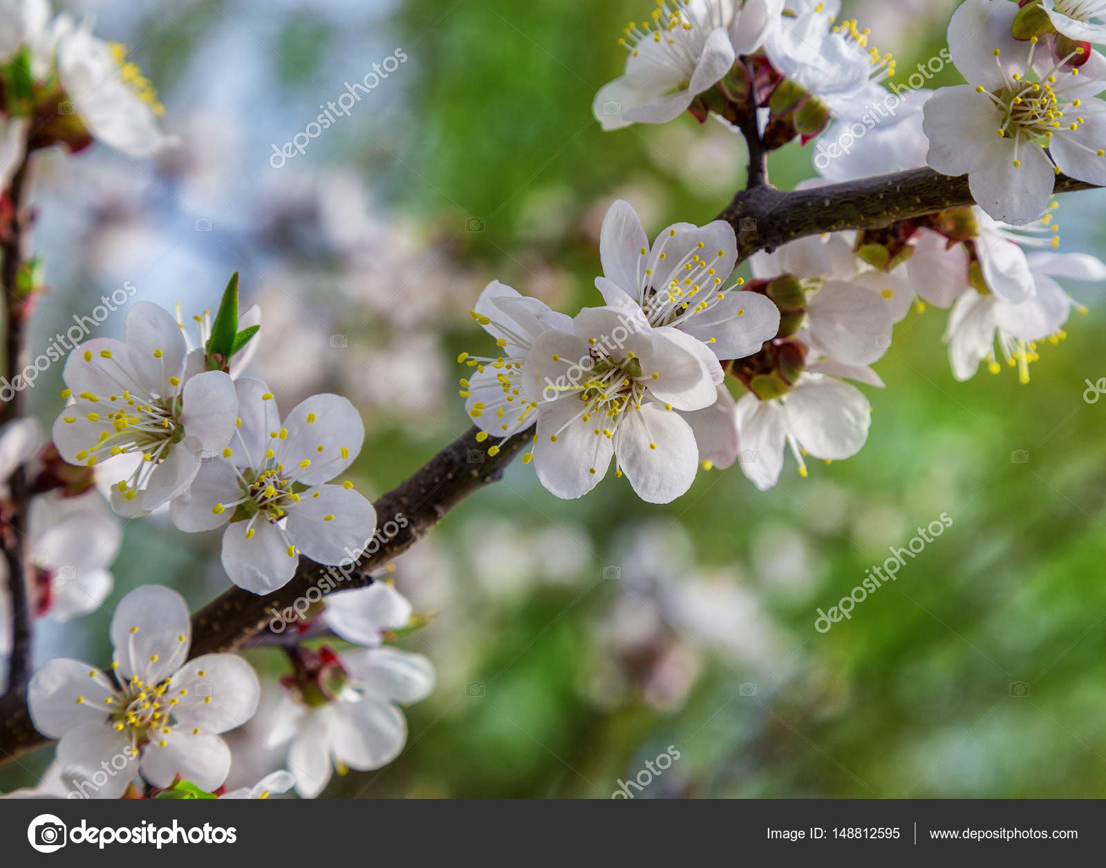 White Flowers Spring Colors The Apricots Stock Photo