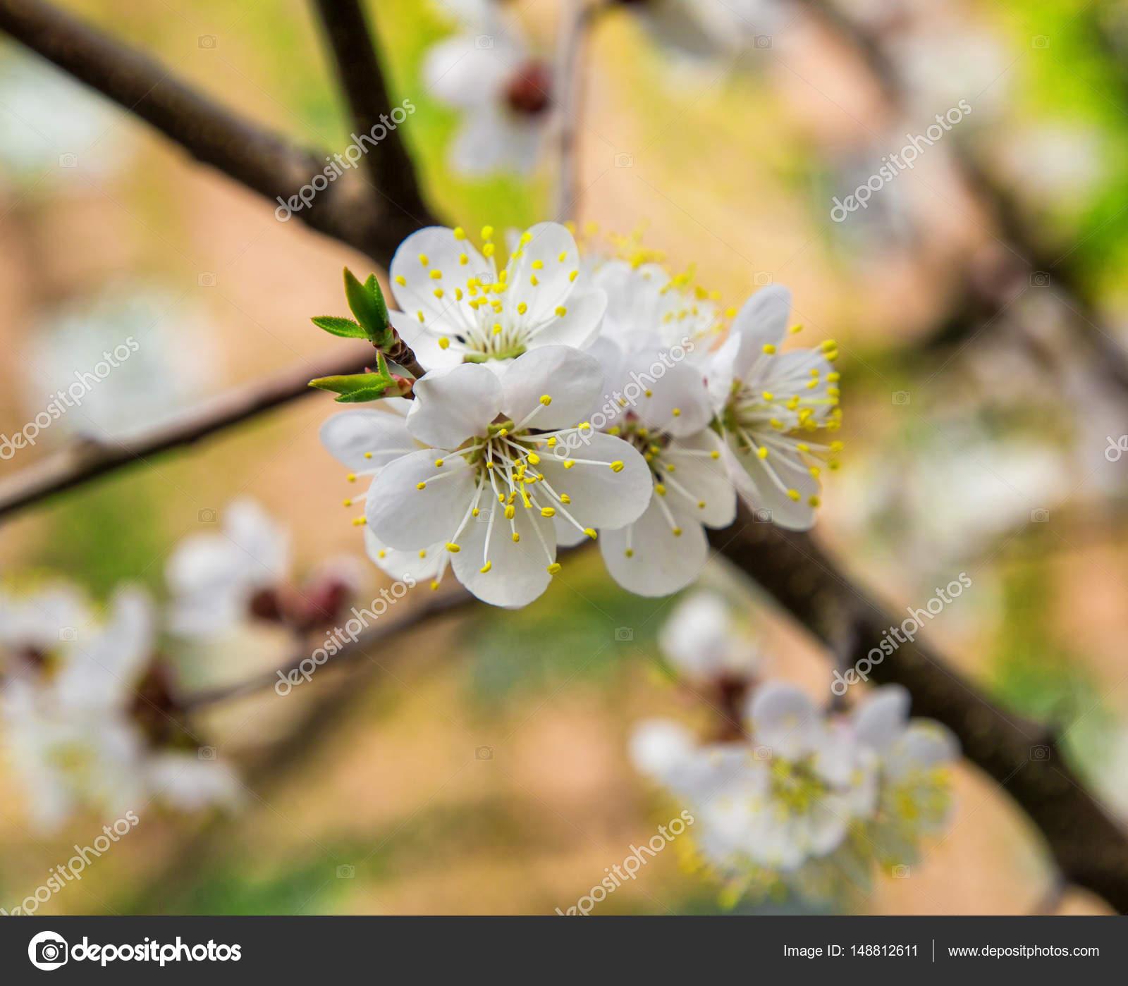 weiße Blumen Frühling Farben die Aprikosen — Stockfoto ...