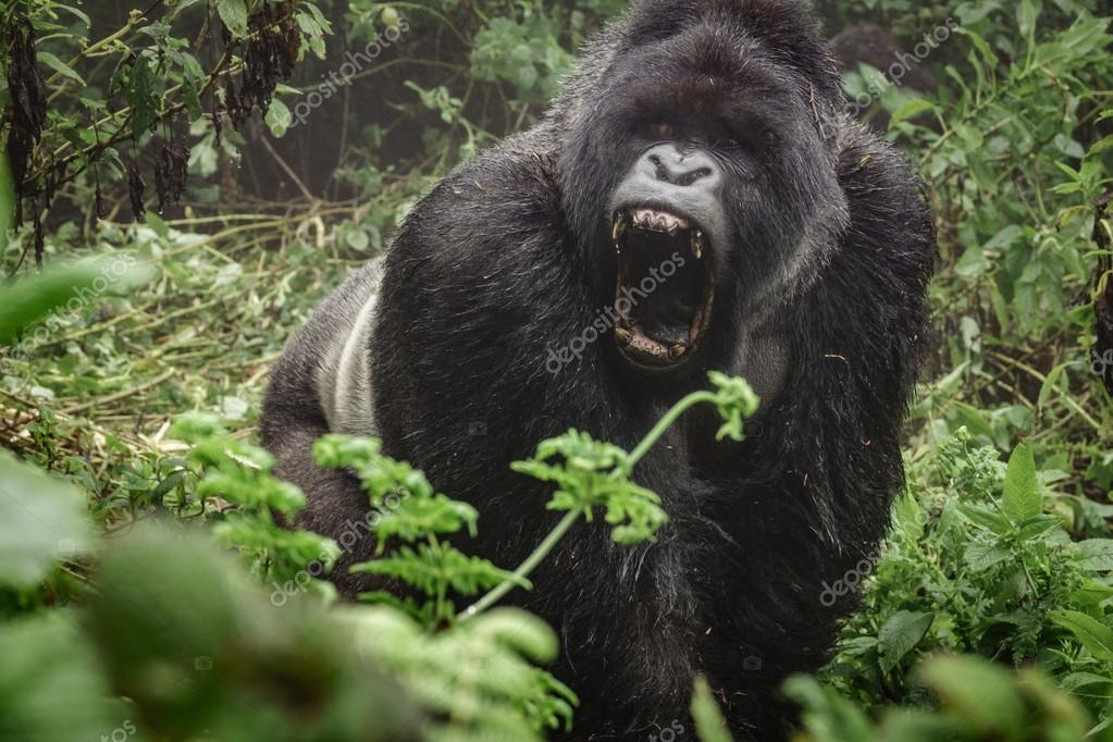 Silverback mountain gorilla in the misty forest opening mouth