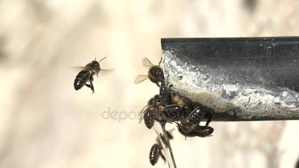 Closeup of bees drinking water in pipe