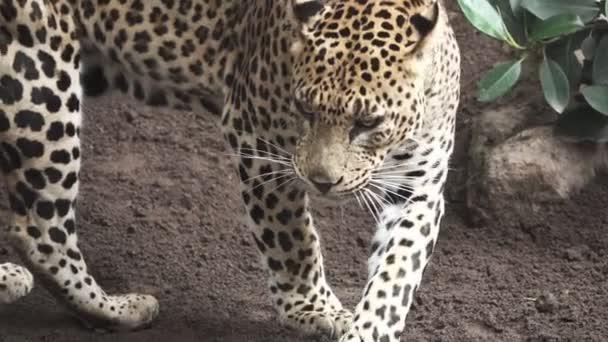 A leopard walks in super slow motion