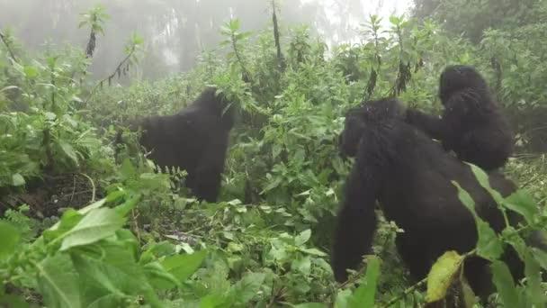 Baby mountain gorilla over mom in Rwanda