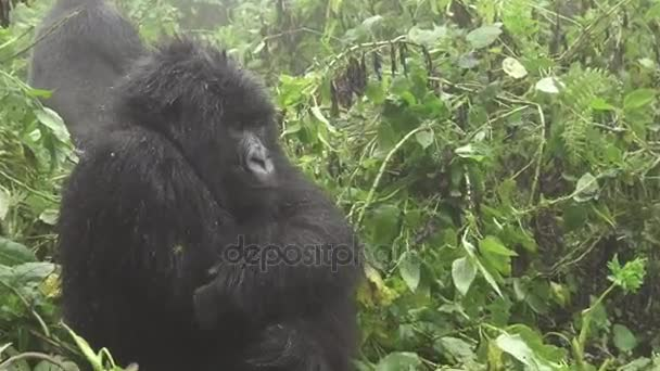 Zooming into mountain gorilla face in the forest