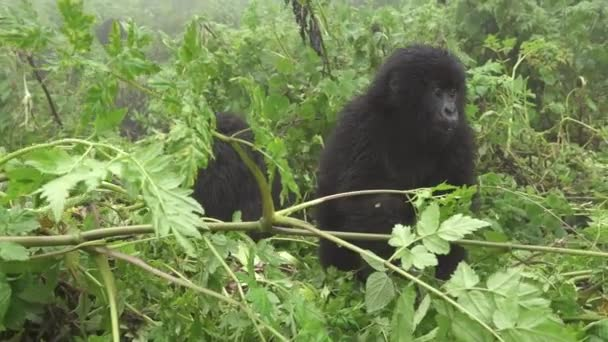 Young wild mountain gorilla in the forest