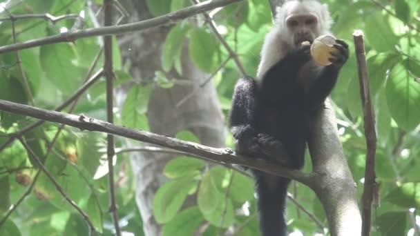 Bílá tvář opice jíst v super zpomaleně
