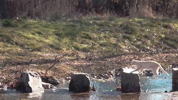 Super slow motion of cat jumping over river stones, backlit