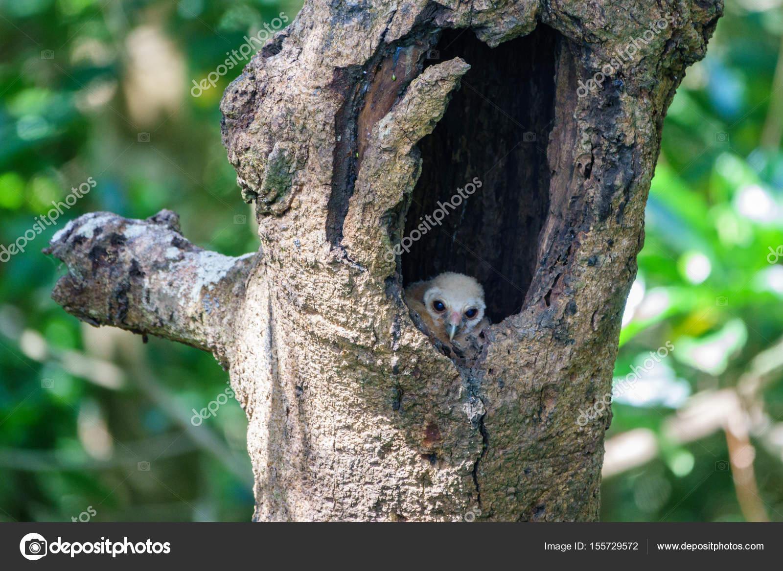 Búhos Bebés Dentro El Agujero Del árbol Foto De Stock Saaaaa