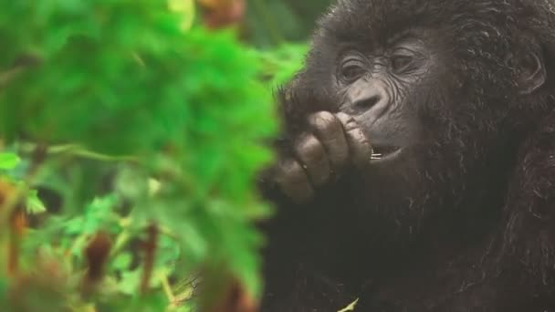 Mountain gorilla face closeup feeding in the forest, front view